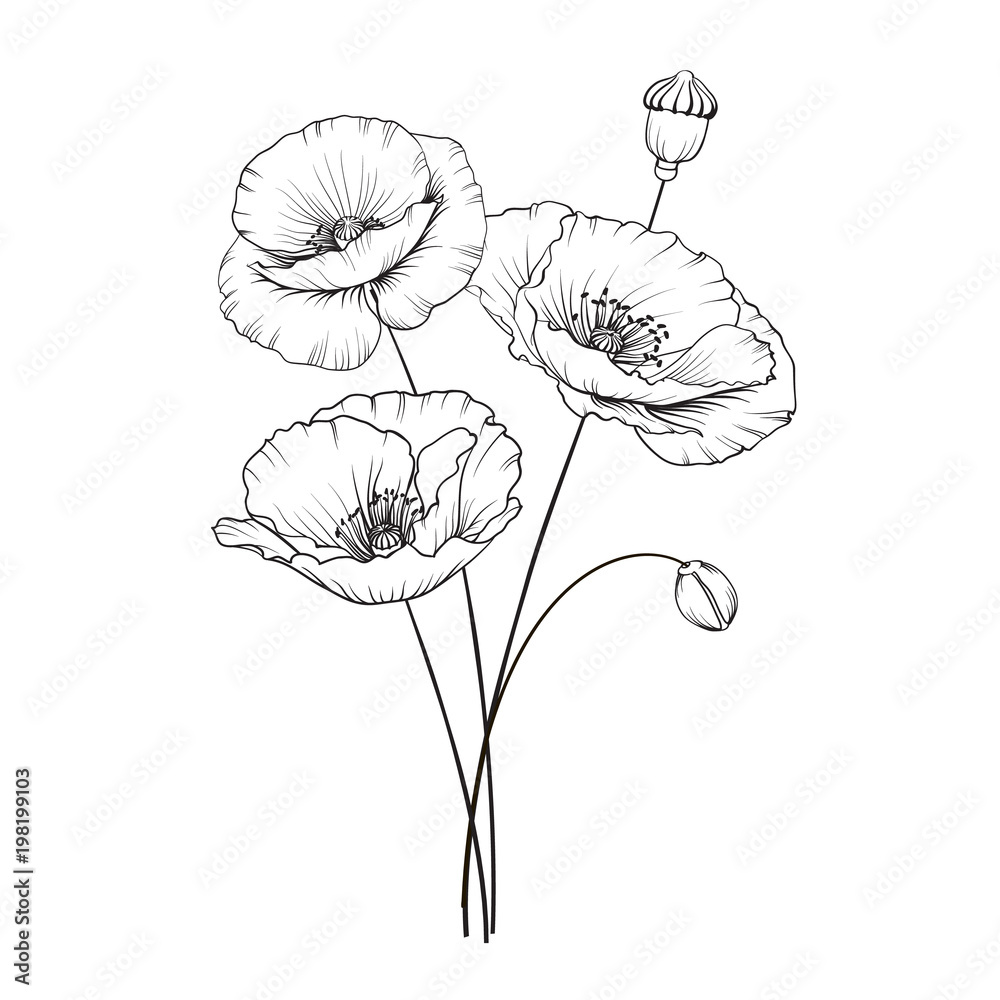 Fototapety, obrazy: Vintage poppy illustration. Wedding flowers patern. Image of watercolor detailed hand drawn poppies. Vector illustration.