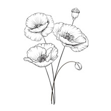 Vintage Poppy Illustration. Wedding Flowers Patern. Image Of Watercolor Detailed Hand Drawn Poppies. Vector Illustration.