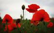 Red blossom puppy field