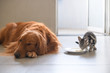 Cute kitty and Golden retriever
