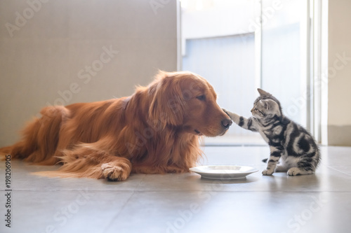 Tuinposter Hond Cute kitty and Golden retriever