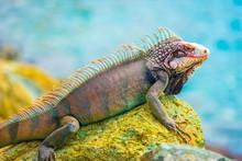 Lizard Tanning