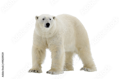 Spoed Foto op Canvas Ijsbeer Polar Bear isolated on the white background