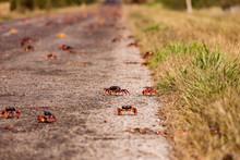 Red Migrating Crab Cuba Gecarc...