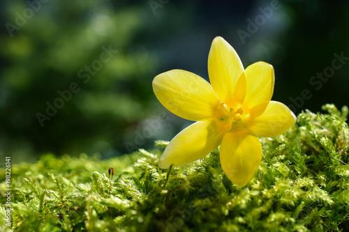 Gelber Krokus Im Frühling Auf Moos Im Garten Buy This Stock Photo
