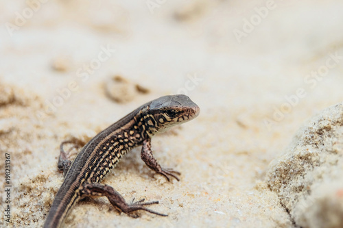 Young brown sand lizard on a sandy ground in the wild Poster