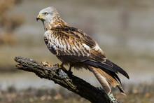 Red Kite (Milvus Milvus) Perch...
