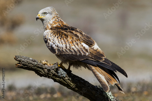 Red kite (Milvus milvus) perched on an oak trunk in the sun