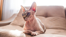 Portrait Of A Sphinx Cat Lying...