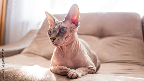 Portrait of a sphinx cat lying on the couch.