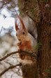 The squirrel sits on a tree and gnaws nuts. Curiosity, trust. Kislovodsk, Russia