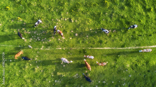Foto Cows on the pasture. Aerial composition on the farm