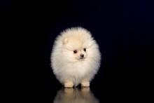 Pomeranian On A Dark Background