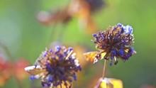 Ceratostigma Willmottianum In Plumbaginaceae