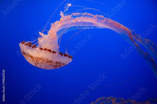 Fotografie, Obraz  Jellyfish in the Monterey Bay Aquarium
