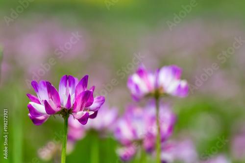 Photo astragalus sinicus closeup
