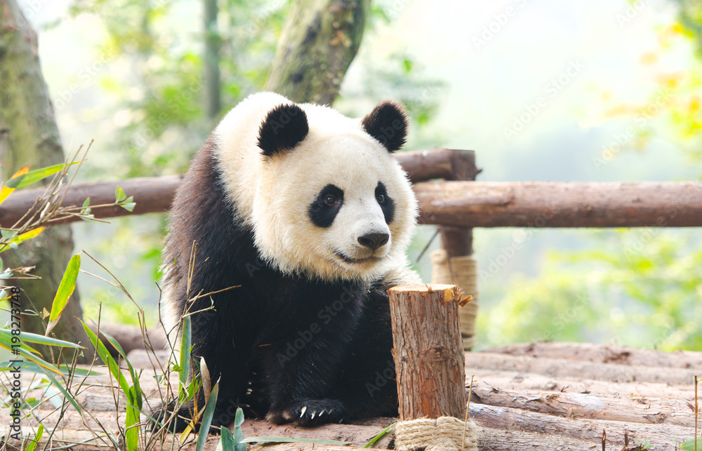 Giant Panda curiously looking around, Chengdu, Szechuan, China