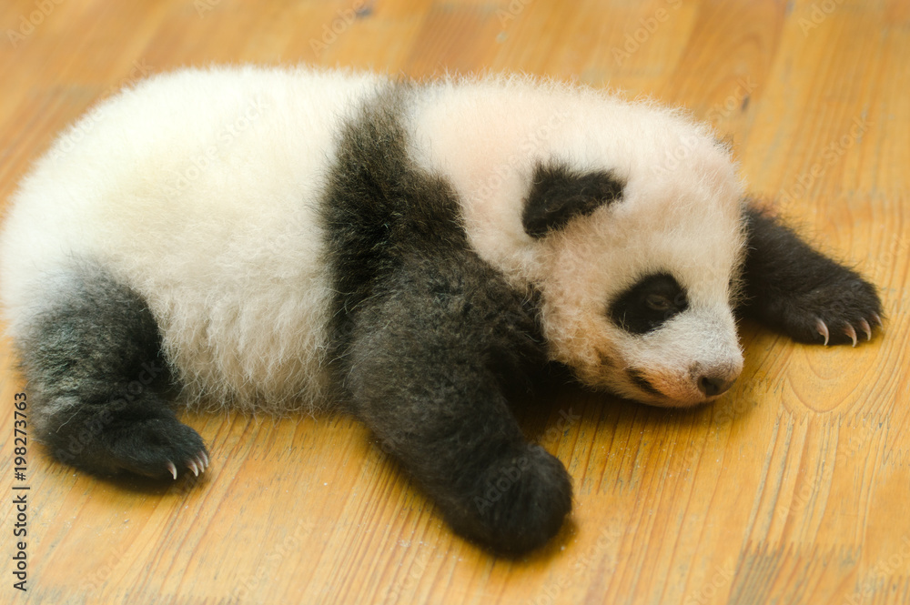 Giant Panda Cub Baby on the Nursery Floor, Chengdu, China