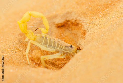 Arabian Scorpion Digging a Burrow