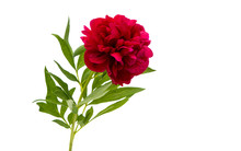 Red Peony Isolated