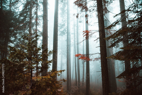 Scenic view of trees in forest during foggy weather - 198277173
