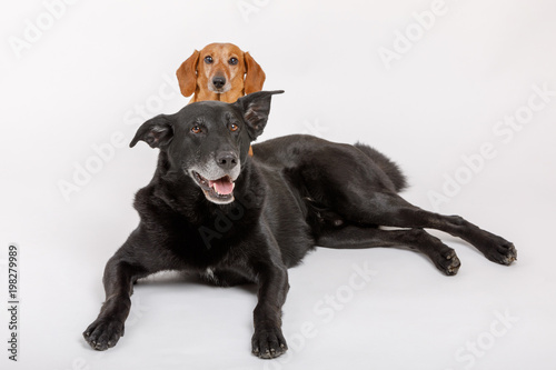 crossbreed dog and Dachshund, best friends Tableau sur Toile