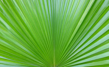 Sugar Palm Leaf Background.