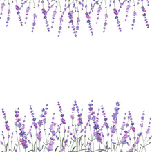 Watercolor Illustration Lavender On Isolated Background.