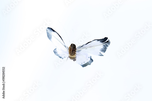 Valokuva  Black and white fake artificial flying butterfly isolated in white background