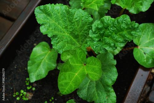Fotografie, Obraz  Luscious green moist chard (Beta vulgaris) leaves on a real garden wooden bed