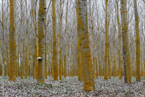 Bosque de chopos canadienses y hongo yesquero. Populus canadensis. Fomes fomentarius. © LFRabanedo