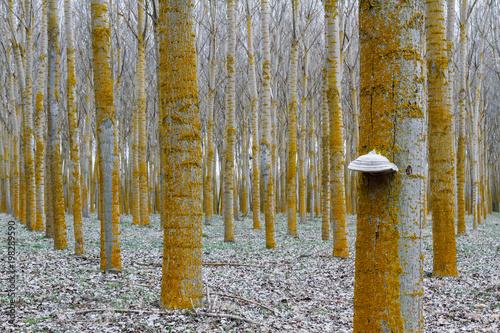 Hongo yesquero. Bosque de chopos canadienses. Populus canadensis. Fomes fomentarius. © LFRabanedo