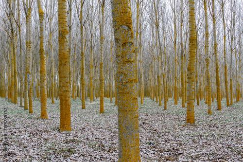 Bosque de chopos canadienses con líquenes. Populus canadensis. © LFRabanedo