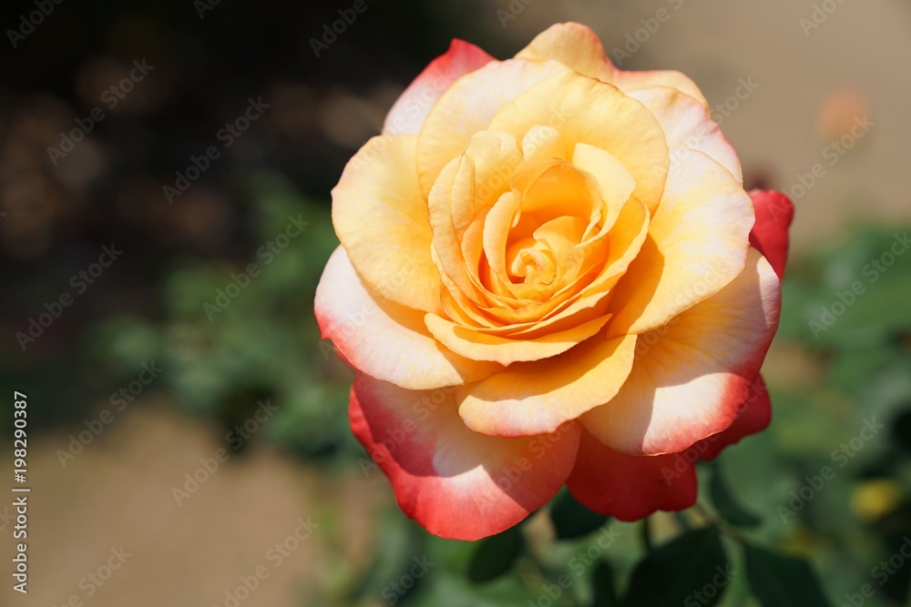 Bloomimg Queen Sirikit Rose, Rosa 'Queen Sirikit' is a hybrid rose of 'Königin der Rosen' and 'Golden Giant Rose'