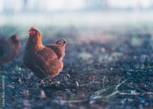 Keuken foto achterwand Kip Brown chicken in misty dirt field.