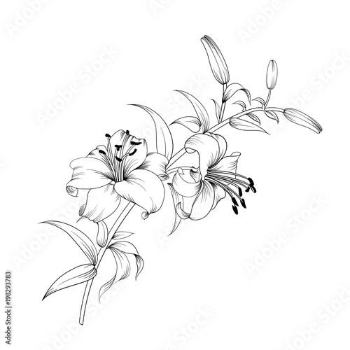 Fotografia Contour of blooming lily isolated over white background