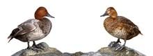 Common Pochard (Aythya Ferina)...