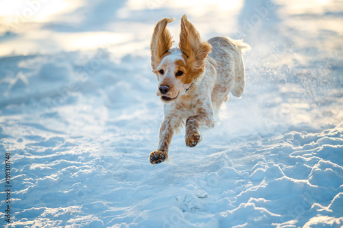 Poster Chien Russian hunting Spaniel