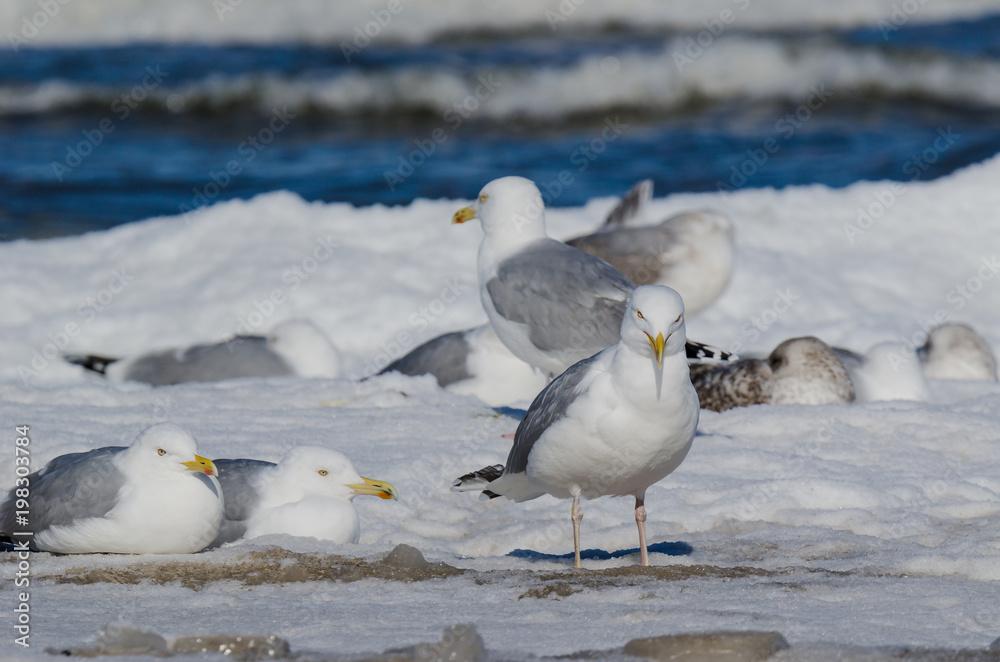GULLS - Birds on a snow-covered sea beach
