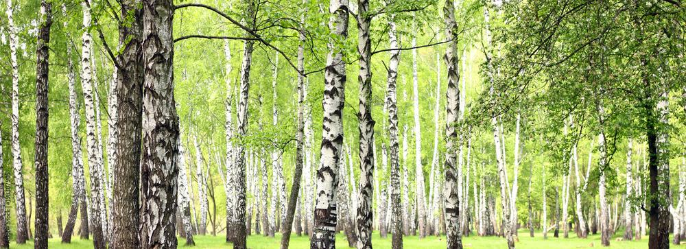 Beautiful landscape with white birches. Birch trees in bright sunshine. Birch grove in autumn. The trunks of birch trees with white bark. Birch trees trunks. Beautiful panorama.