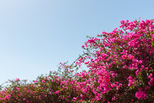 Bougainvillea Pink Tree Against Blue Sky Background