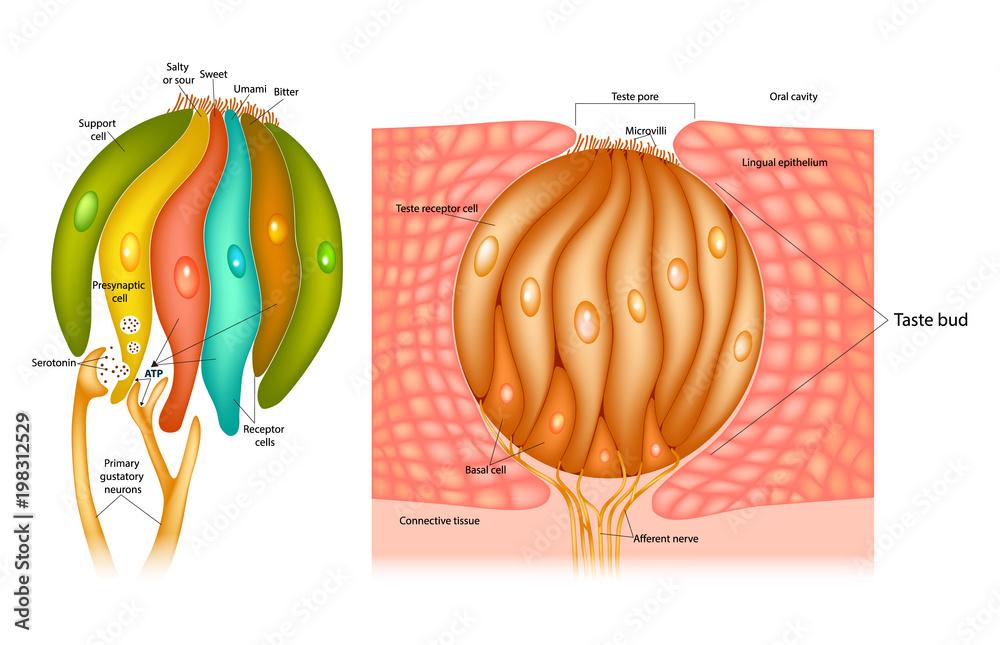Taste Bud Structure In The Human Tongue Taste Receptor Cells Foto