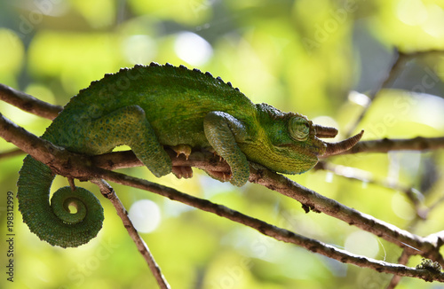 Poster Chamaleon Dreihornchamäleon im Baum