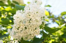 Ivory Silk Japanese Tree Lilac...