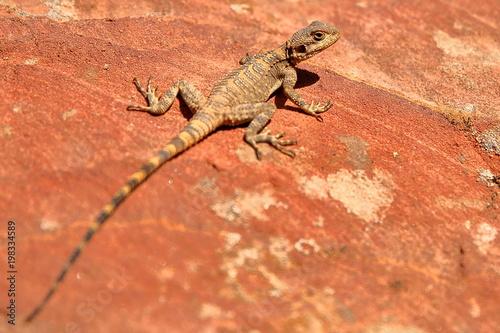 Photo An Agama lizard in Petra, Jordan, Middle East
