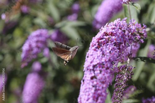 Fotobehang Lavendel moro sphinx
