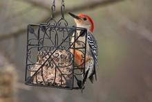 A Red Bellied Woodpecker Eats ...