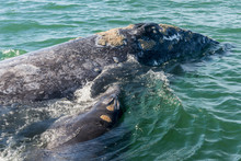 Ojo De Liebre Lagoon,  Baja California Sur State Of Mexico: Female Gray Whale And Her Calf