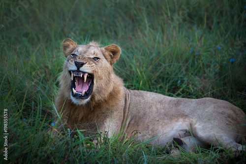 Fotobehang Leeuw Mighty Lion watching the lionesses who are ready for the hunt in Masai Mara, Kenya (Panthera leo)