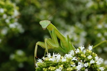 A Small Praying Mantis Prowls About In The Herb Garden On A Summer Afternoon.
